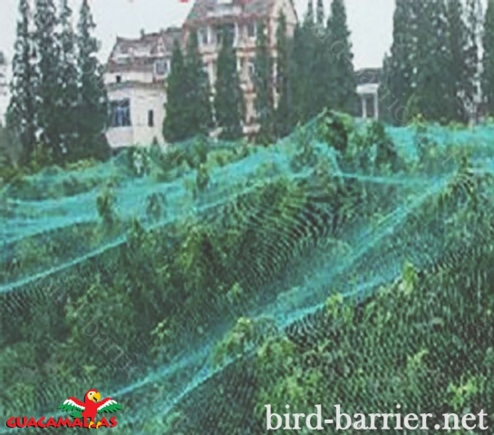 GUACAMALLAS bird control net is easily applied directly over the trees.